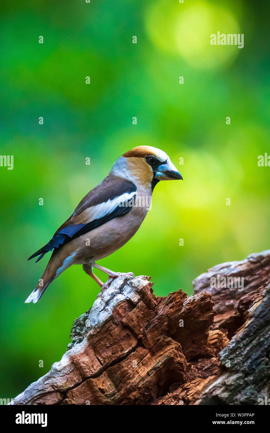 Closeup of a male hawfinch Coccothraustes coccothraustes bird perched in a forest. Selective focus and natural sunlight - Stock Image