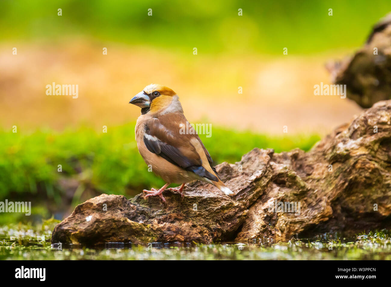 Closeup of a hawfinch male, Coccothraustes coccothraustes, bird perched on wood. Selective focus, natural daylight - Stock Image