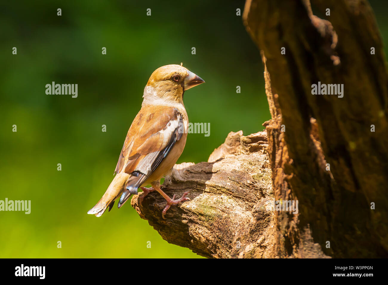 Closeup of a hawfinch female, Coccothraustes coccothraustes, bird perched on wood. Selective focus, natural daylight - Stock Image