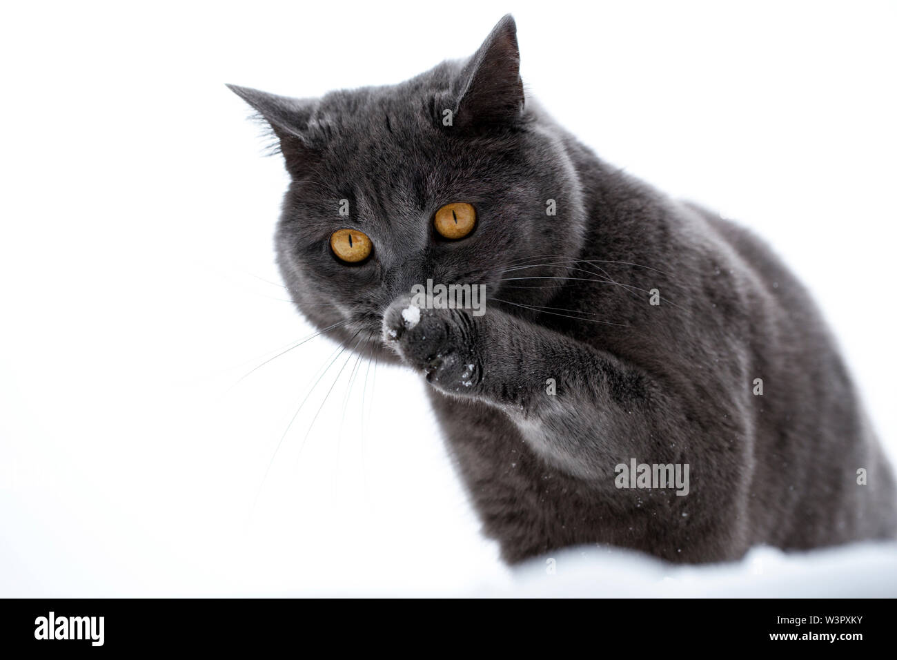 Black tom cat  Black and White Cat Names  2019-06-07