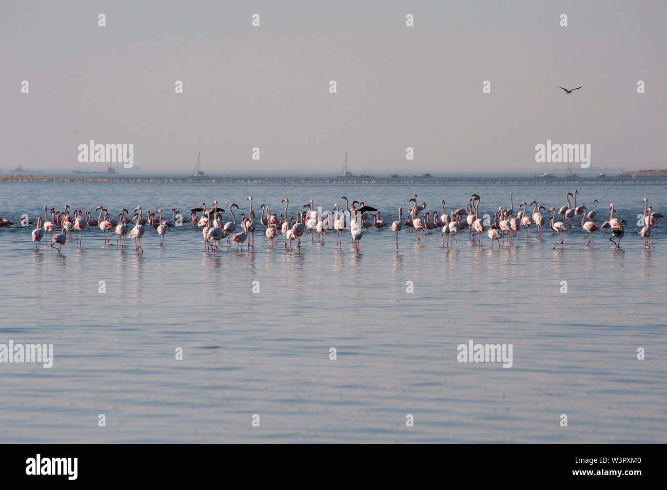 Flock of Lesser Flamingoes (Phoeniconaias minor) in Walvis Bay, Namibia Stock Photo