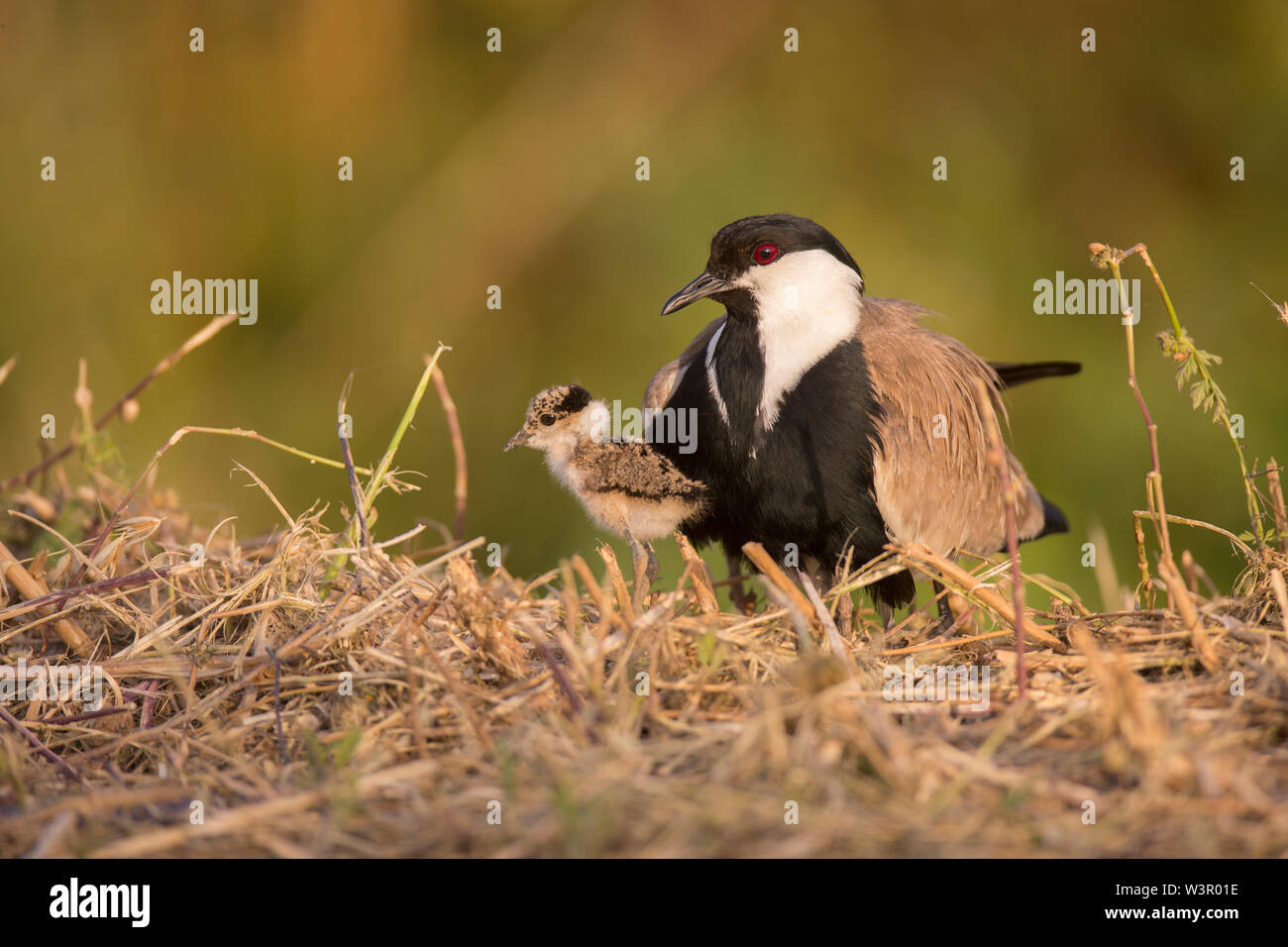 Adult and chick Spur-winged Lapwing or Spur-winged Plover (Vanellus spinosus) Photographed in Israel in Spring April - Stock Image