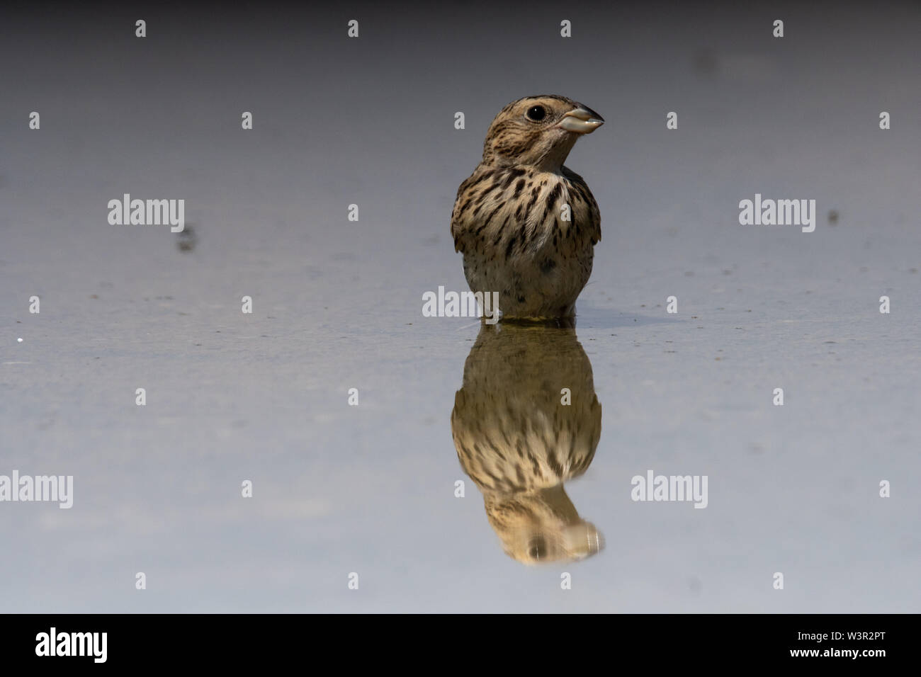 Common Linnet (Carduelis cannabina) near a puddle of water in the desert, negev, israel in June - Stock Image