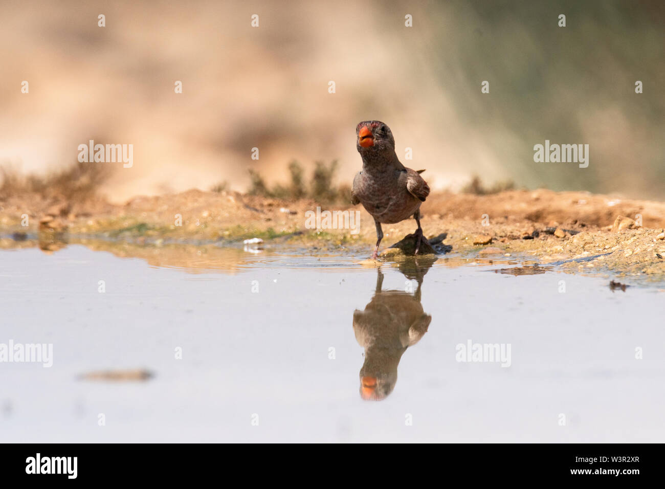 The trumpeter finch (Bucanetes githagineus) near a puddle of water in the Negev desert, israel in June - Stock Image