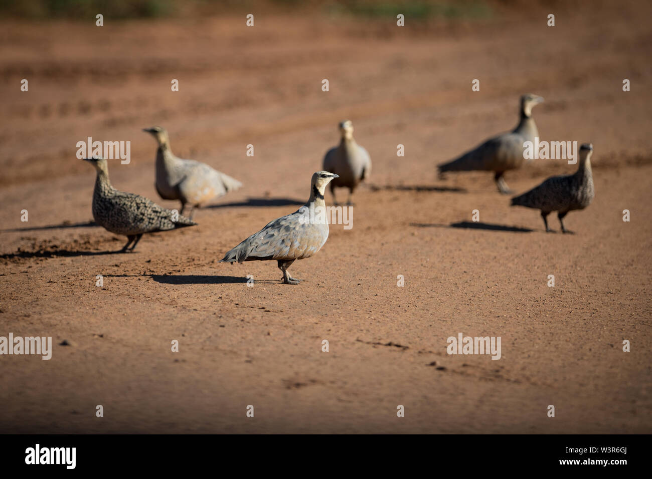 A small flock of Yellow-throated Sandgrouse, Pterocles gutturalis, gathers on road, Madikwe Game Reserve, North West Province, South Africa at sunset Stock Photo