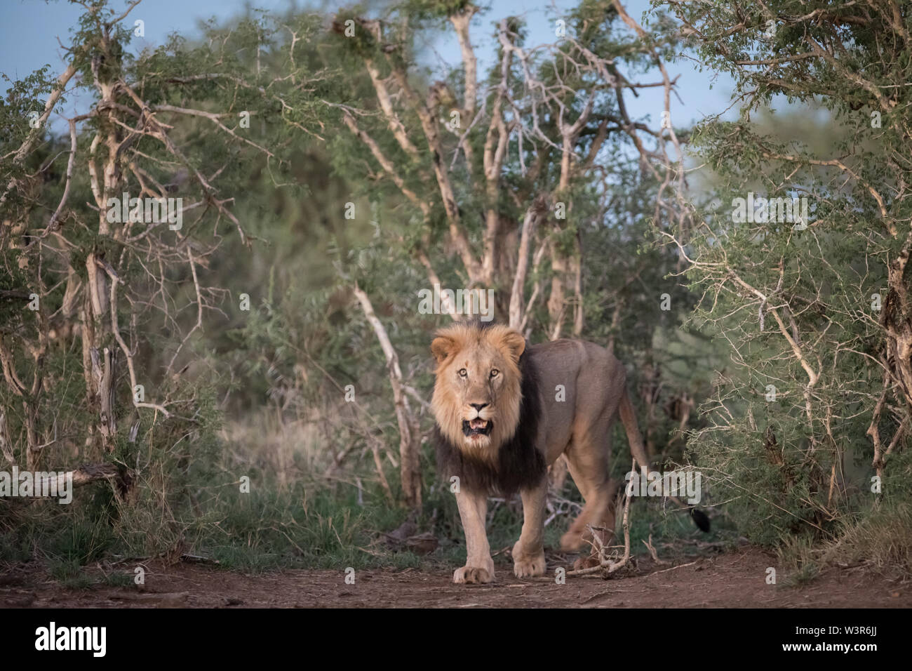 Lion, Panthera leo, are commonly seen on safari game drives in Madikwe Game Reserve, North West, South Africa. - Stock Image
