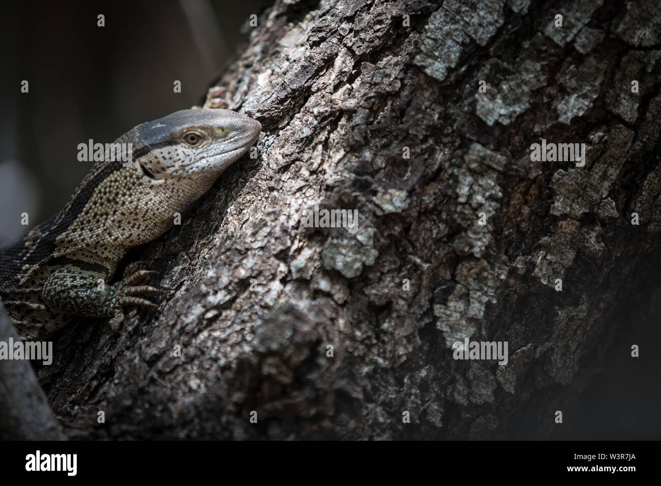 A rock monitor or white-throated monitor, Varanus albigularis climbs a tree in Madikwe Game Reserve, North West Province, South Africa. - Stock Image