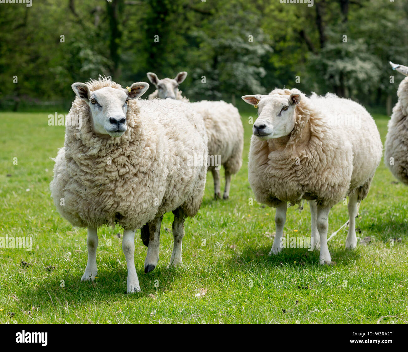 Texel Lleyn Ewes and lambs.  ©James Davies Photography - Stock Image