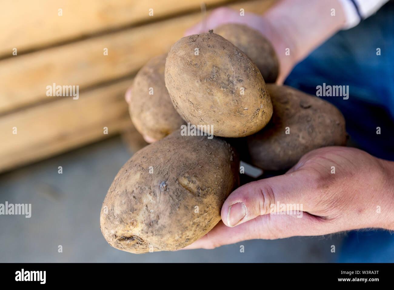 Pembrokeshire grown Maris Piper Potatoes. ©James Davies Photography - Stock Image