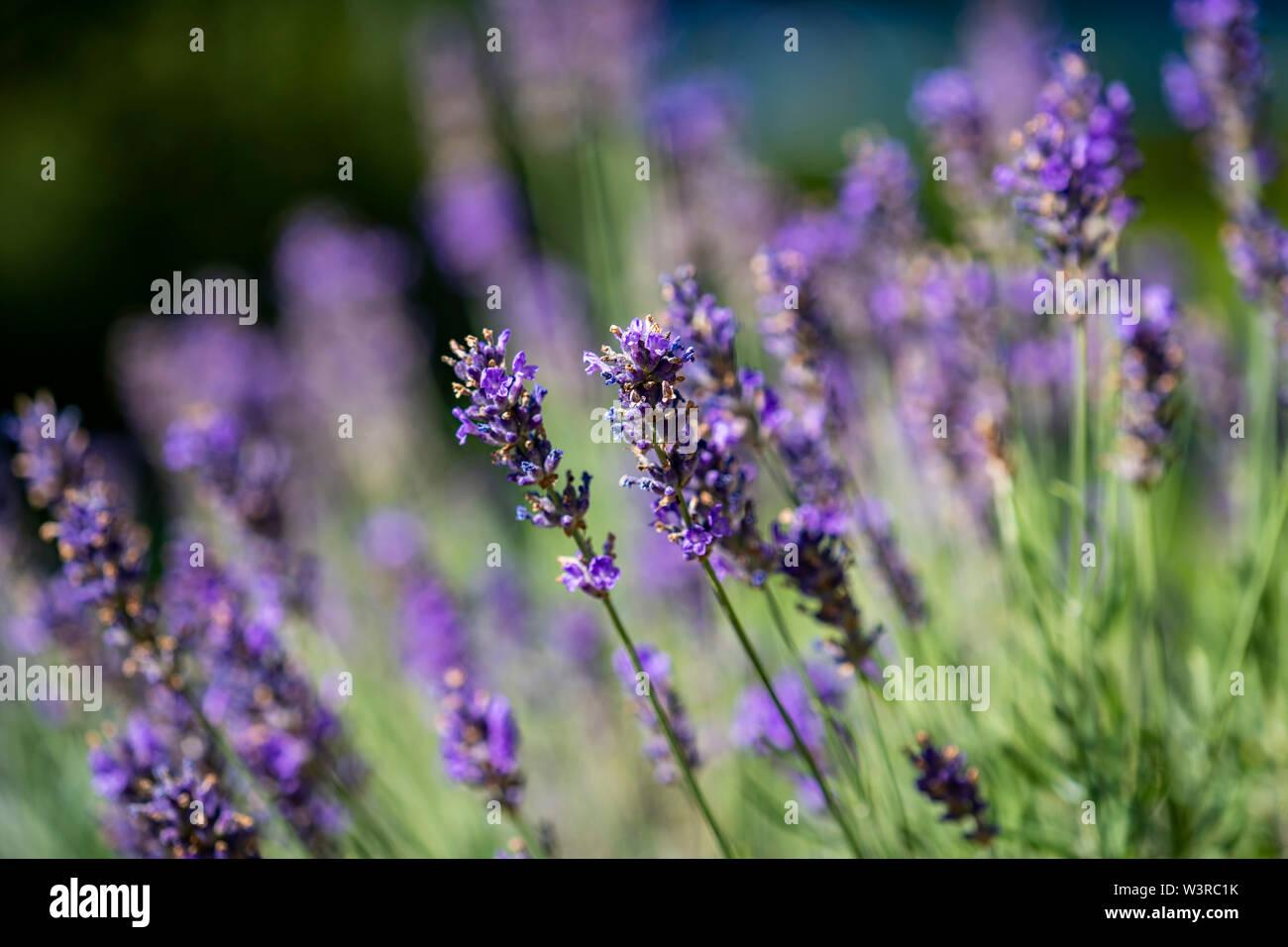 lavender ; duftender Lavendel ; Nahaufnahme; close up; Lavandula angustifolia - Stock Image