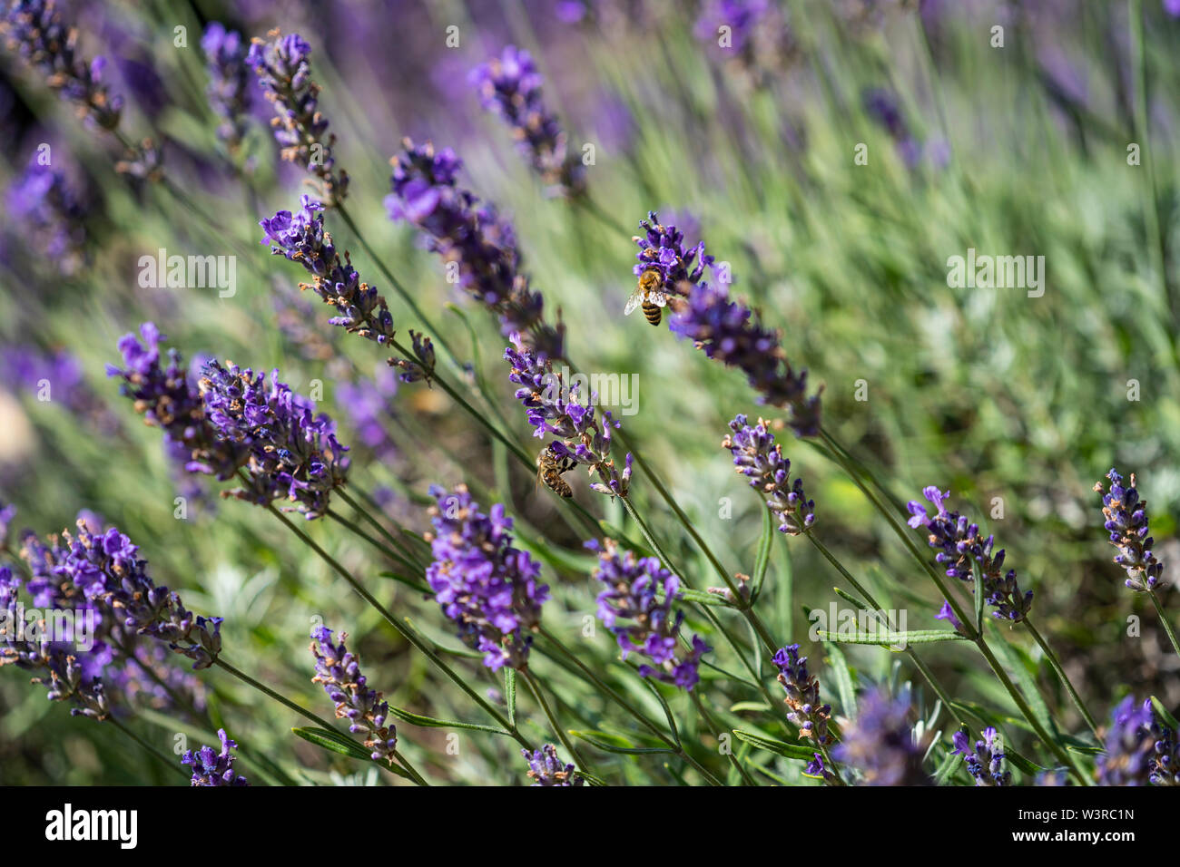 close up of bees collecting honey on lavender ; duftender Lavendel mit Bienen; Nahaufnahme; Lavandula angustifolia - Stock Image
