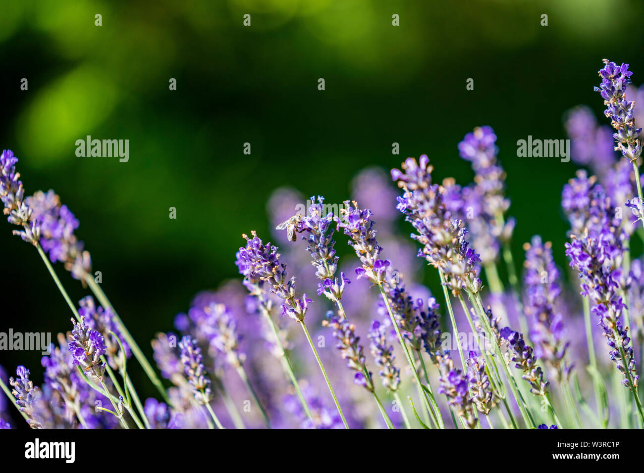 bees collecting honey on lavender ; duftender Lavendel mit Bienen; Nahaufnahme; Lavandula angustifolia - Stock Image