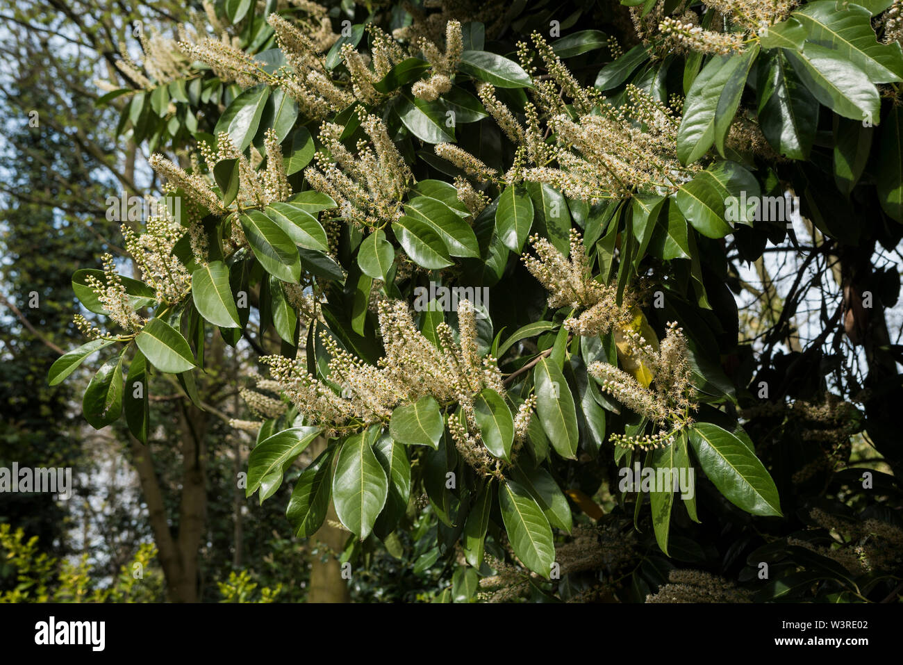 English Laurel or Cherry Laurel is a shrub / tree ( Prunus laurocerasus ) , shown in bloom. Poisonous plant if eaten, poss. fatal respiratory issues. Stock Photo