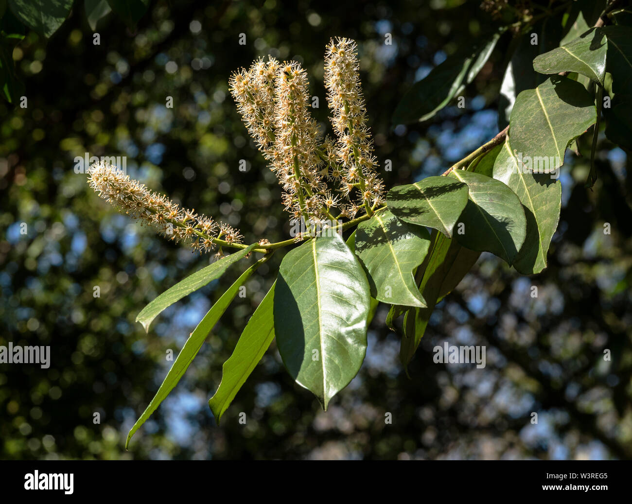 English Laurel or Cherry Laurel is a shrub / tree ( Prunus laurocerasus ) , shown in bloom. Poisonous plant if eaten, poss. fatal respiratory issues. - Stock Image