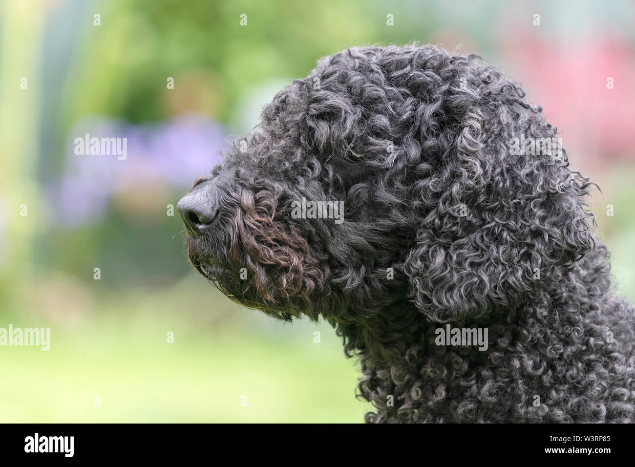 Portrait of a cute long haired black Labradoodle - Stock Image