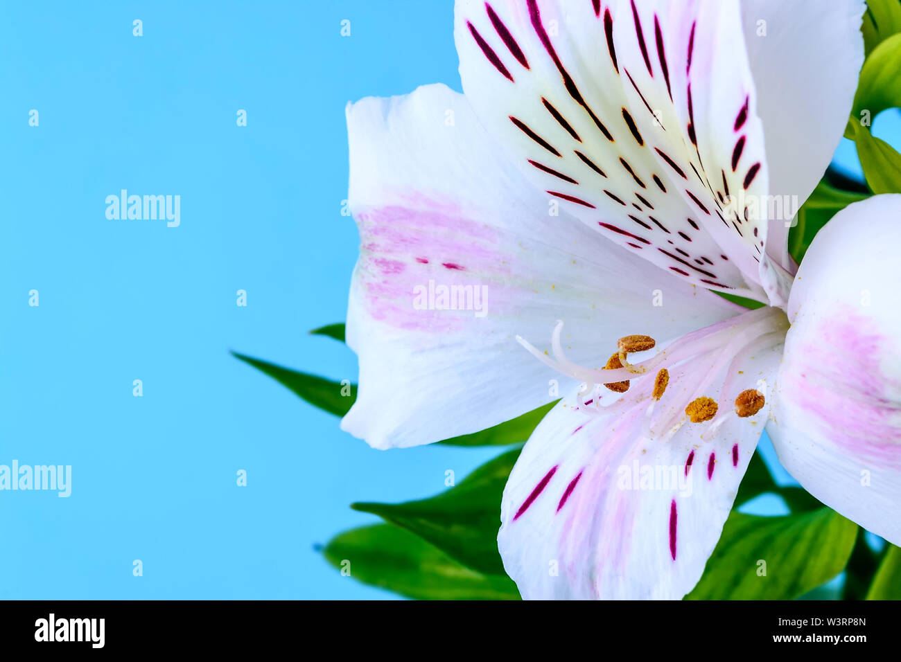Close-up of white flower of alstroemeria, commonly called the Peruvian lily or lily of the Incas and copy space on a blue background. Stock Photo