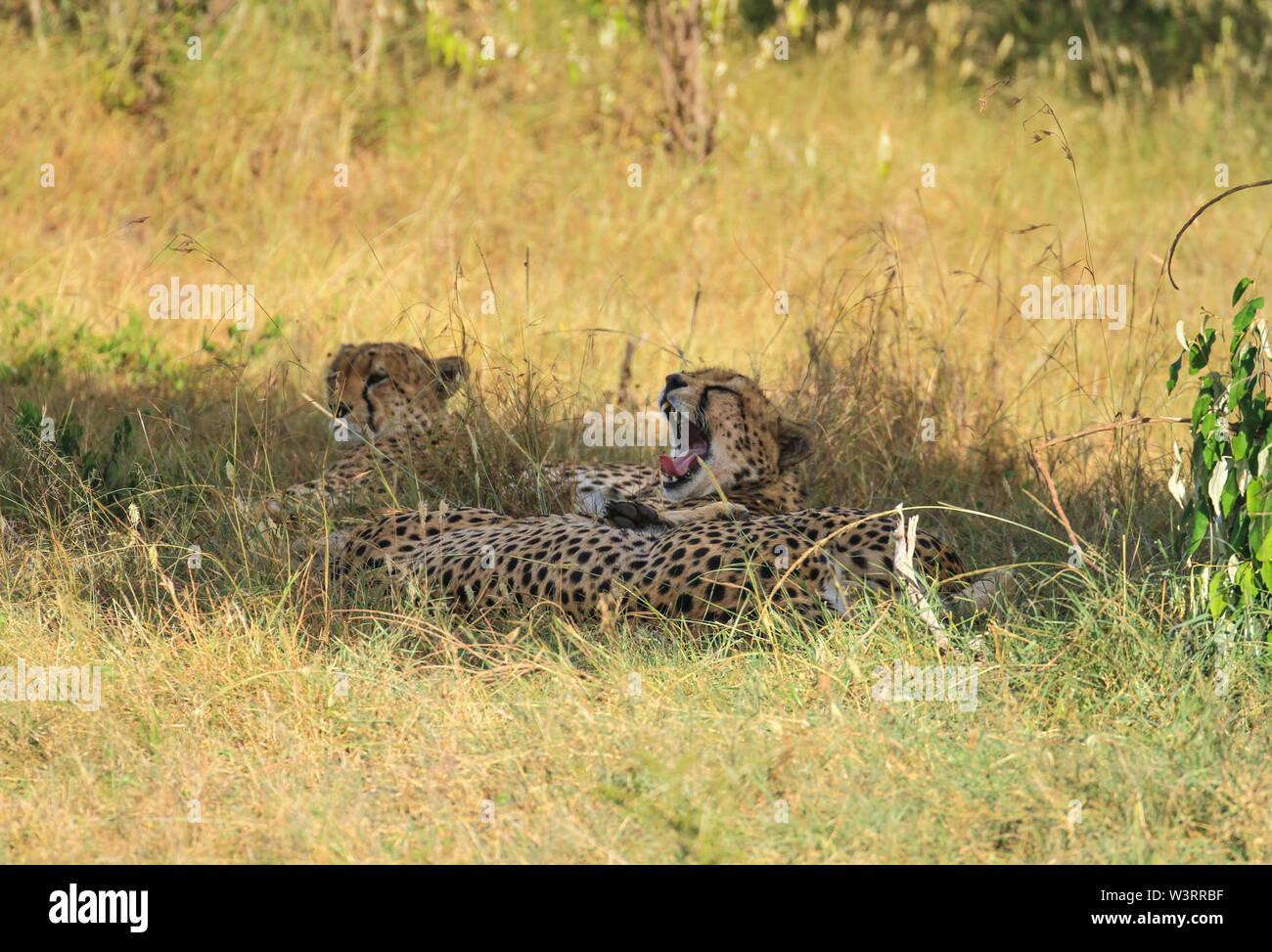 Cheetah Acinonyx jubatus three cheetahs brothers yawn yawning wide teeth tongue lying down in green yellow grass Masai Mara National Reserve copy - Stock Image