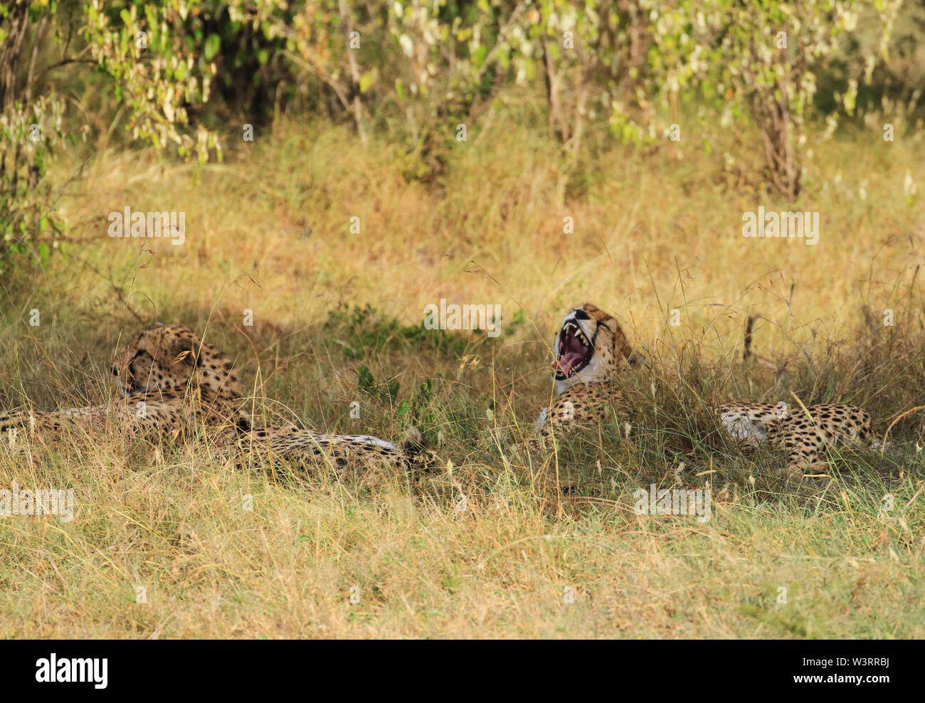 Cheetah Acinonyx jubatus four cheetahs brothers yawn yawning wide teeth tongue lying down in green yellow grass Masai Mara National Reserve copy space - Stock Image