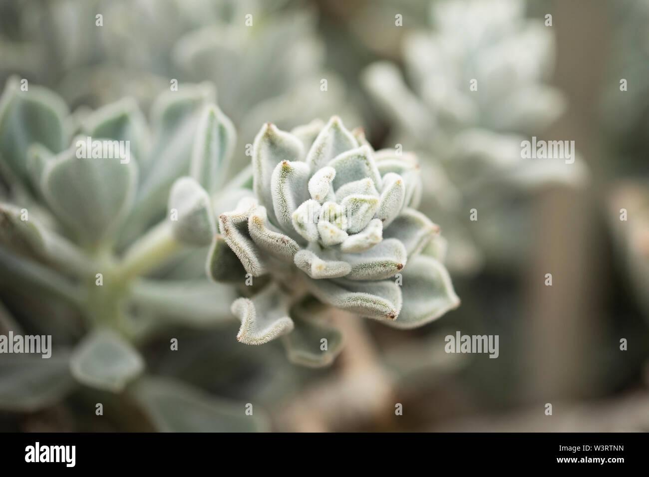 Echeveria Pulvinata Or Plush Plant A Succulent Native To Semi Arid Areas Of Mexico Central America And South America Stock Photo Alamy