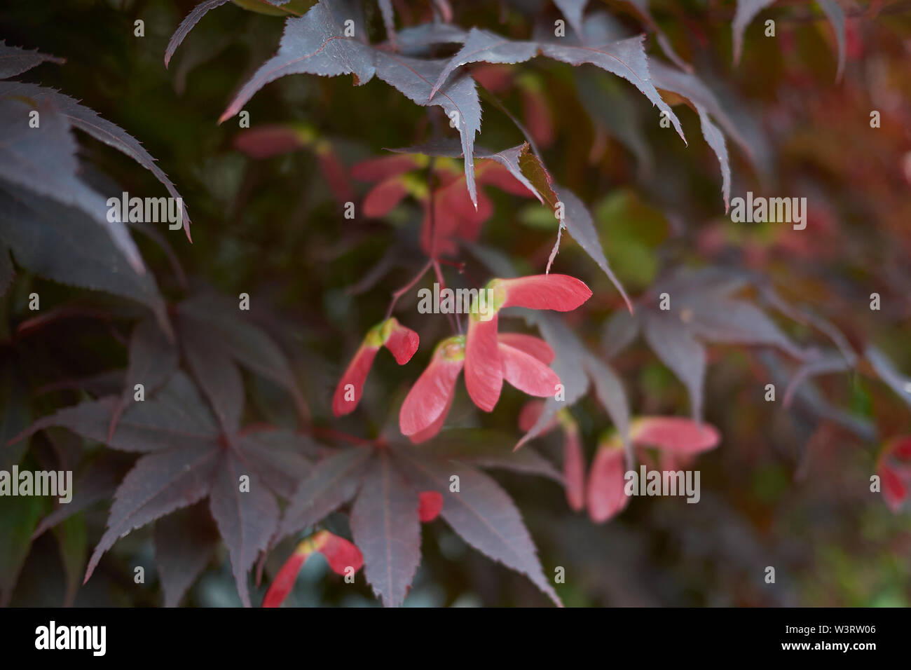 red foliage  and fruit of Acer palmatum - Stock Image