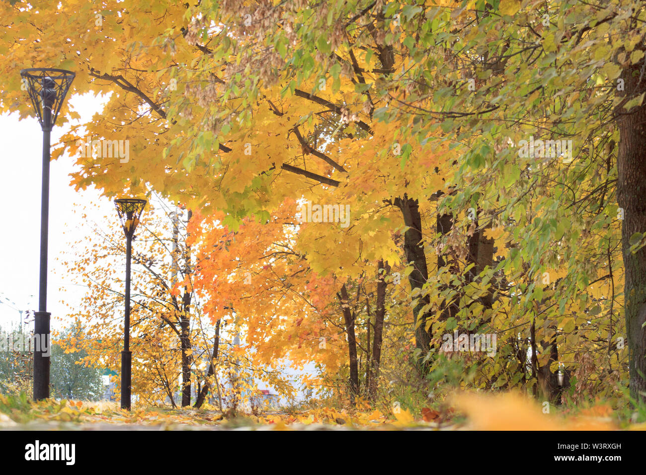 Beautiful yellow trees are standing in the autumn park. Falling autumn leaves. Seasons of the year. Live nature. - Stock Image