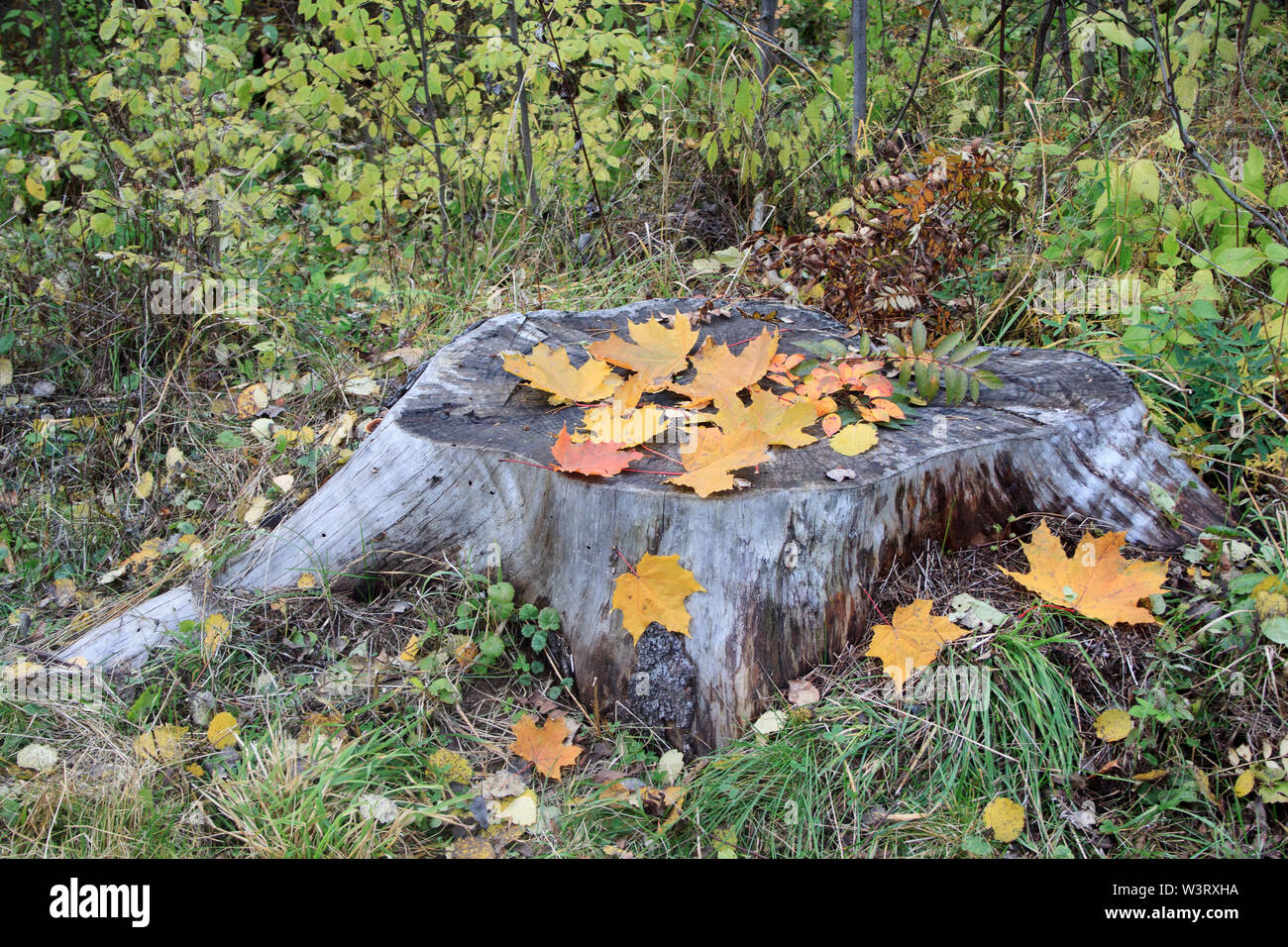 Beautiful yellow and red autumn leaves are lying on the wooden stump. Seasons of the year. Live nature. - Stock Image