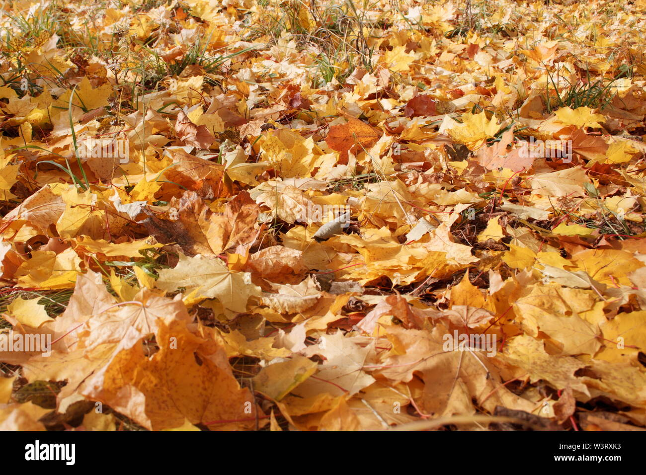 Yellow and orange maple leaves are lying on grass in the autumn park. Autumn background. Seasons of the year. - Stock Image
