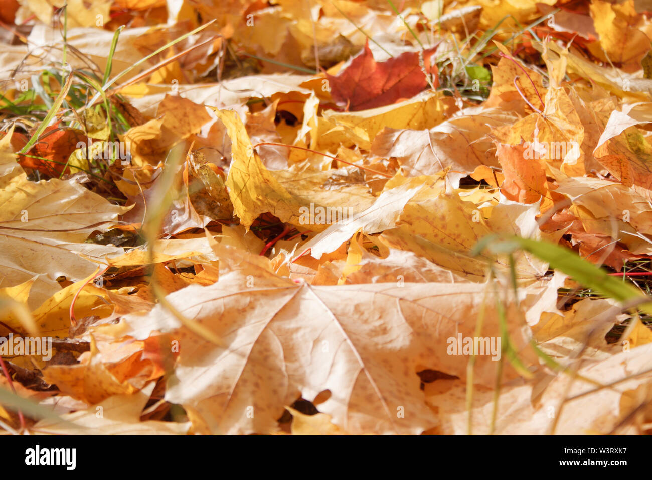Beautiful maple leaves are lying on grass in the autumn park. Autumn background. Seasons of the year. - Stock Image