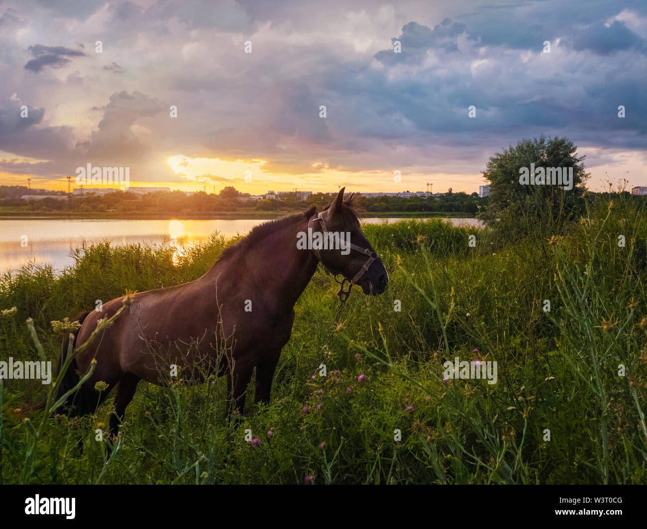 Brown horse grazing on a green grass field over sunset sky background. Rural scene with a stallion on pasture near lake at sundown. - Stock Image