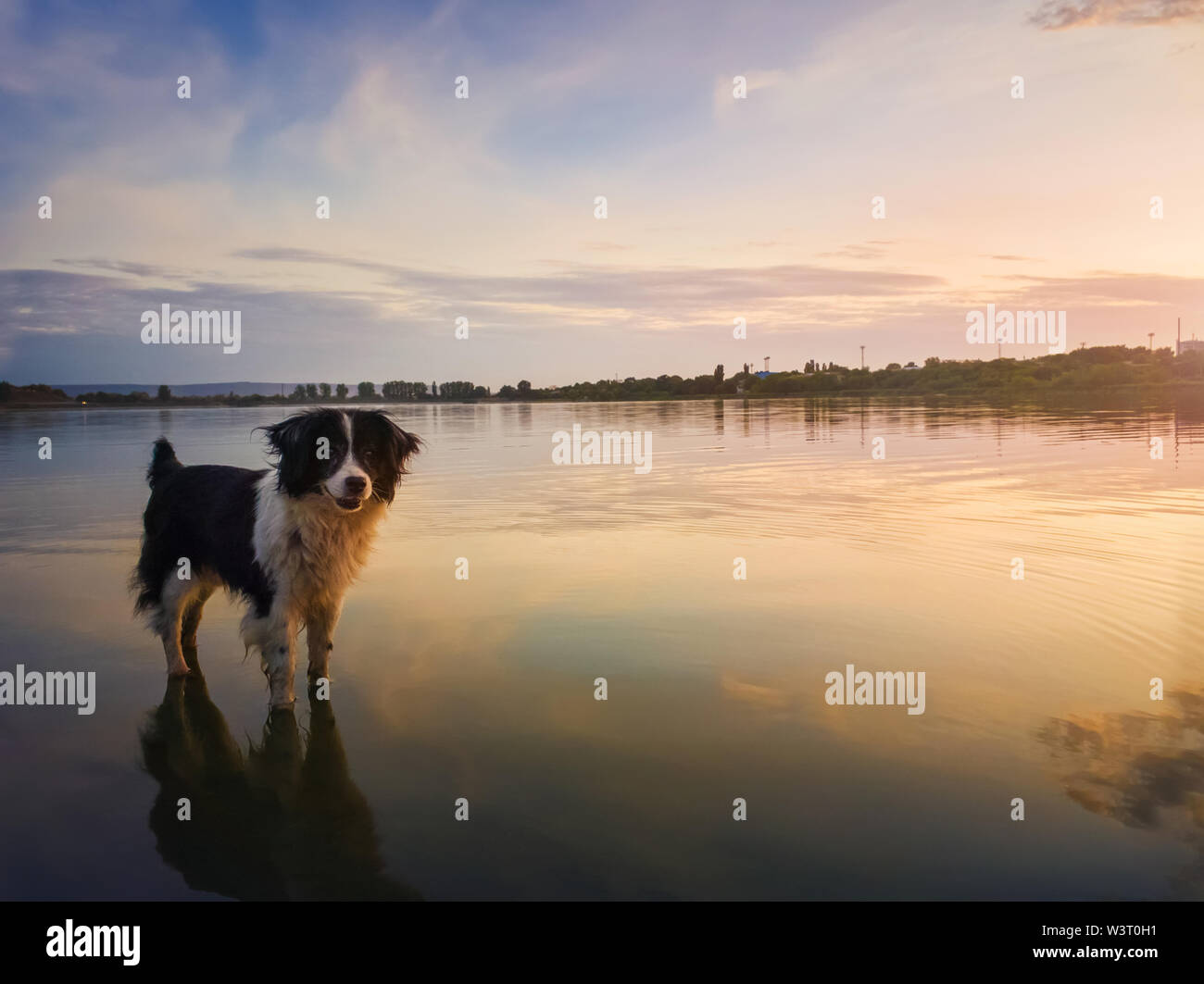 Portrait of border collie dog standing in a pond water over sunset background with reflection on the lake surface. Beautiful pet looking around attent - Stock Image