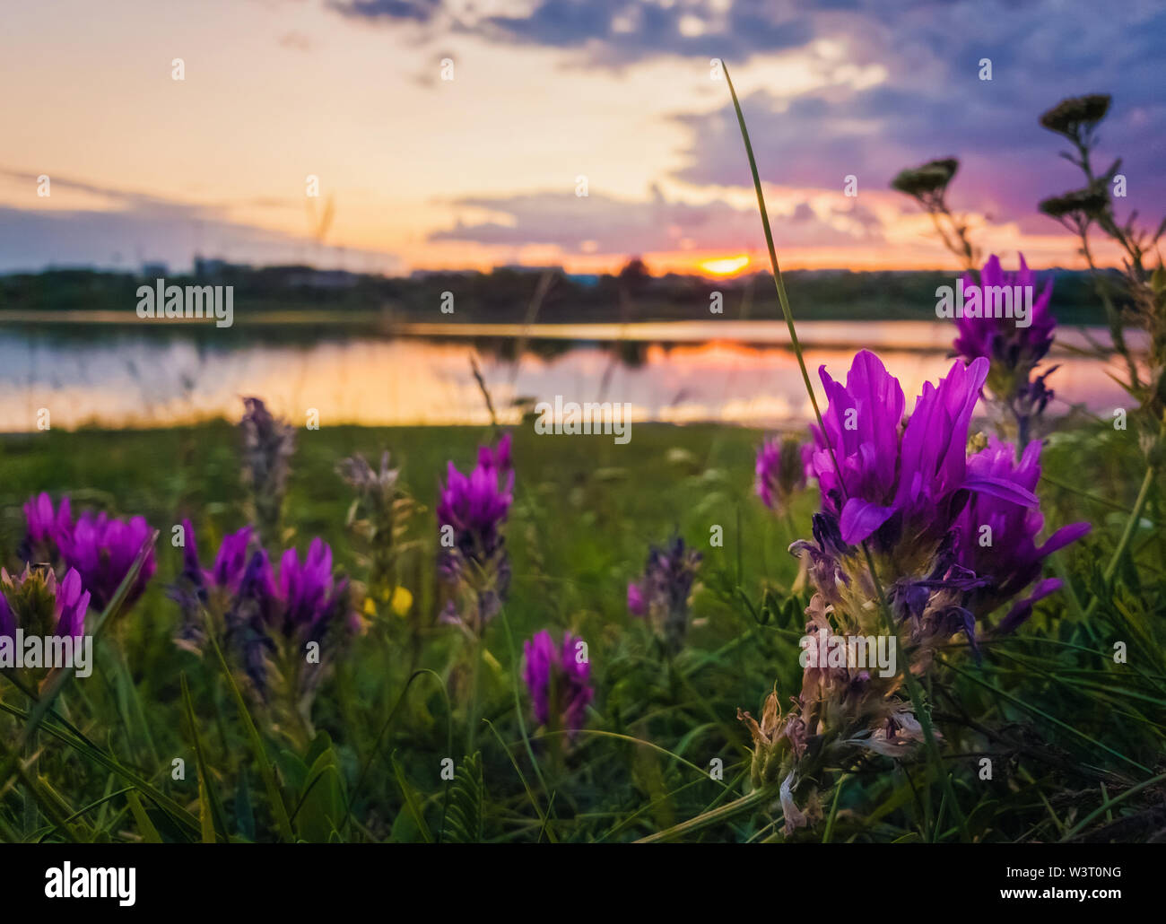 Close up of wild, purple flowers blooming in the meadow near lake over sunset background in a calm summer evening. - Stock Image