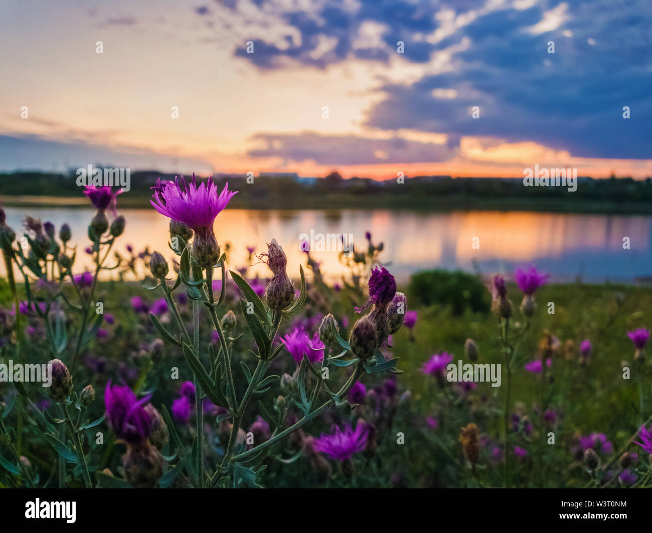 Close up of wild, purple shrub flowers blooming in the meadow near lake over sunset background in a calm summer evening. - Stock Image