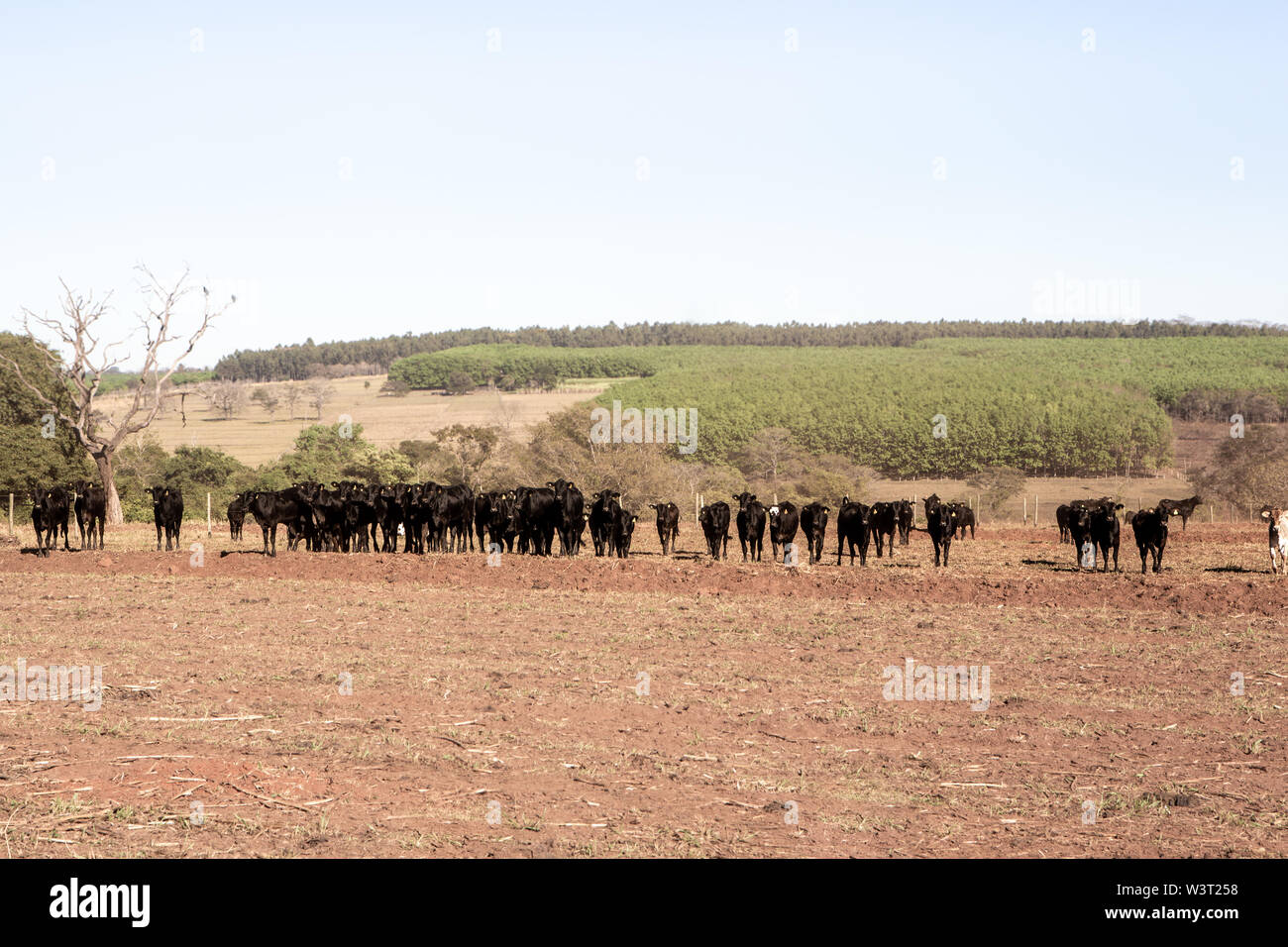 Cattle Angus and Wagyu on farm pasture with plowing in the background on beautiful summer day. Stock Photo