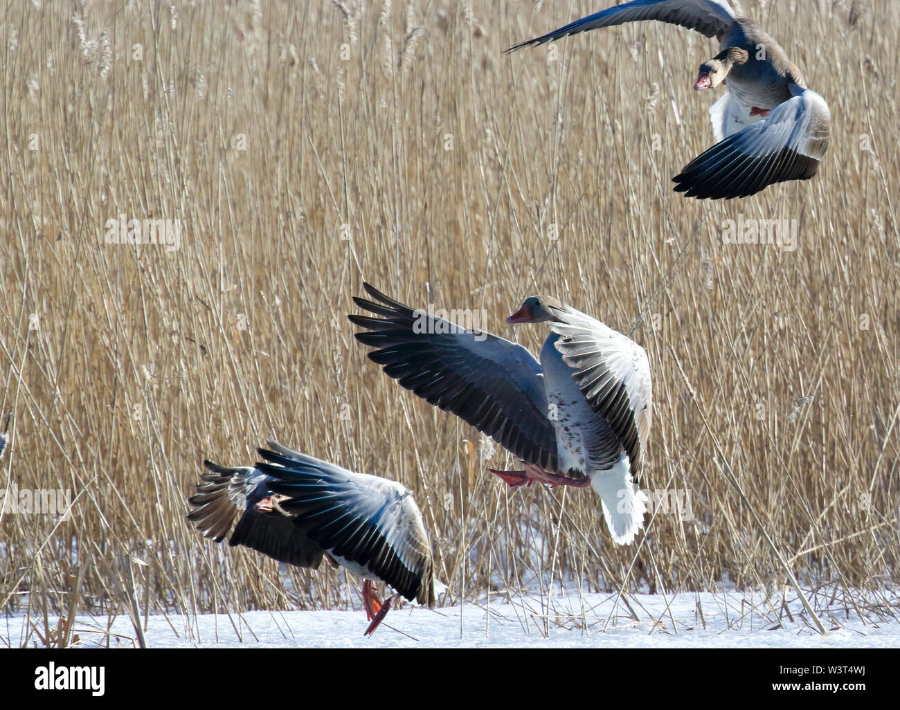 greylag goose - Stock Image
