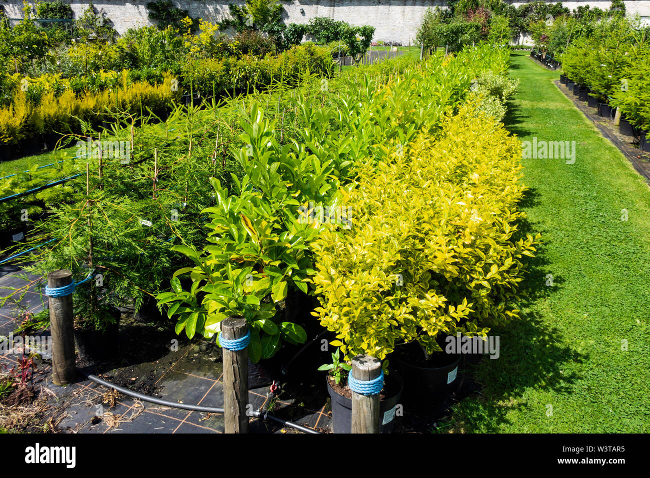 Hedging plants privet laurel and fir on sale at the in the Eggleston Walled  garden centre Durham England UK - Stock Image