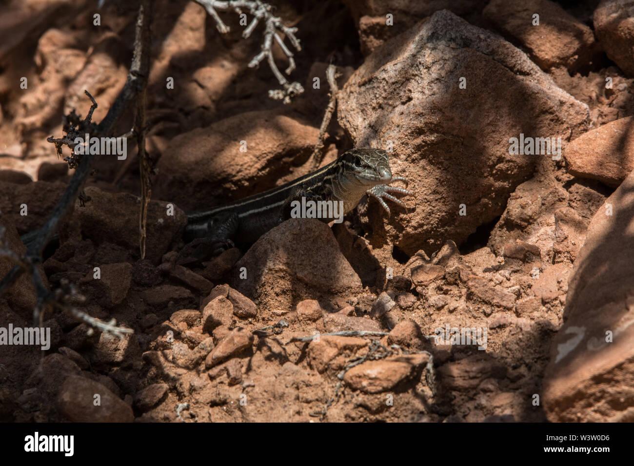 Plateau Striped Whiptail (Aspidoscelis velox) from Mesa County, Colorado, USA. Stock Photo