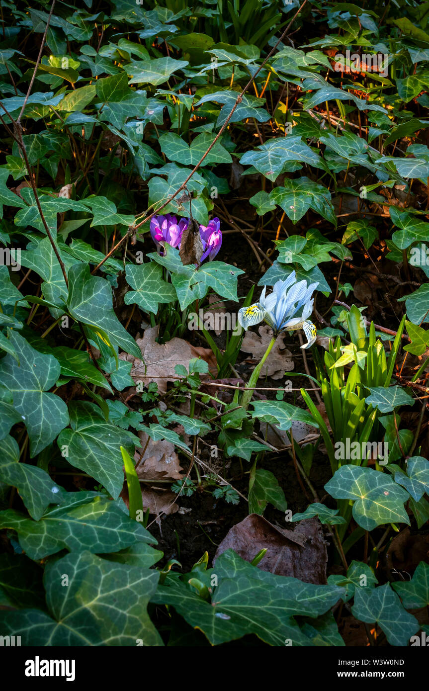 Close-up photo of two crocuses growing through ivy at ground level Stock Photo