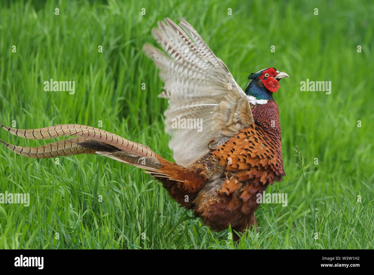 Common pheasant, Fasan (Phasianus colchicus) Männchen beim Balzruf Stock Photo