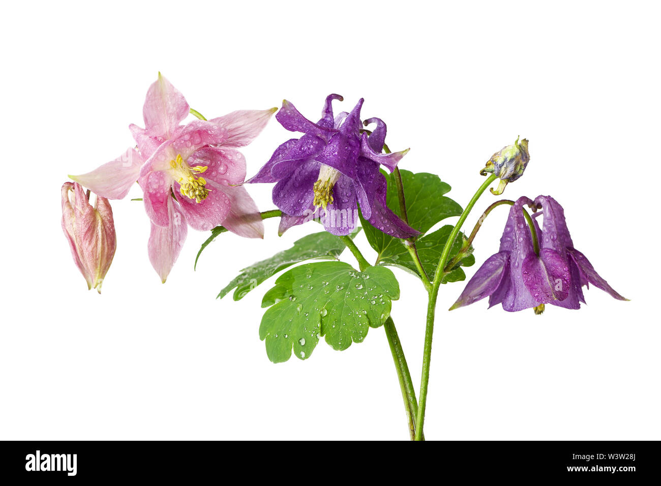 Beautiful flowers of aquilegia plant pink and lila colors isolated on white background - Stock Image