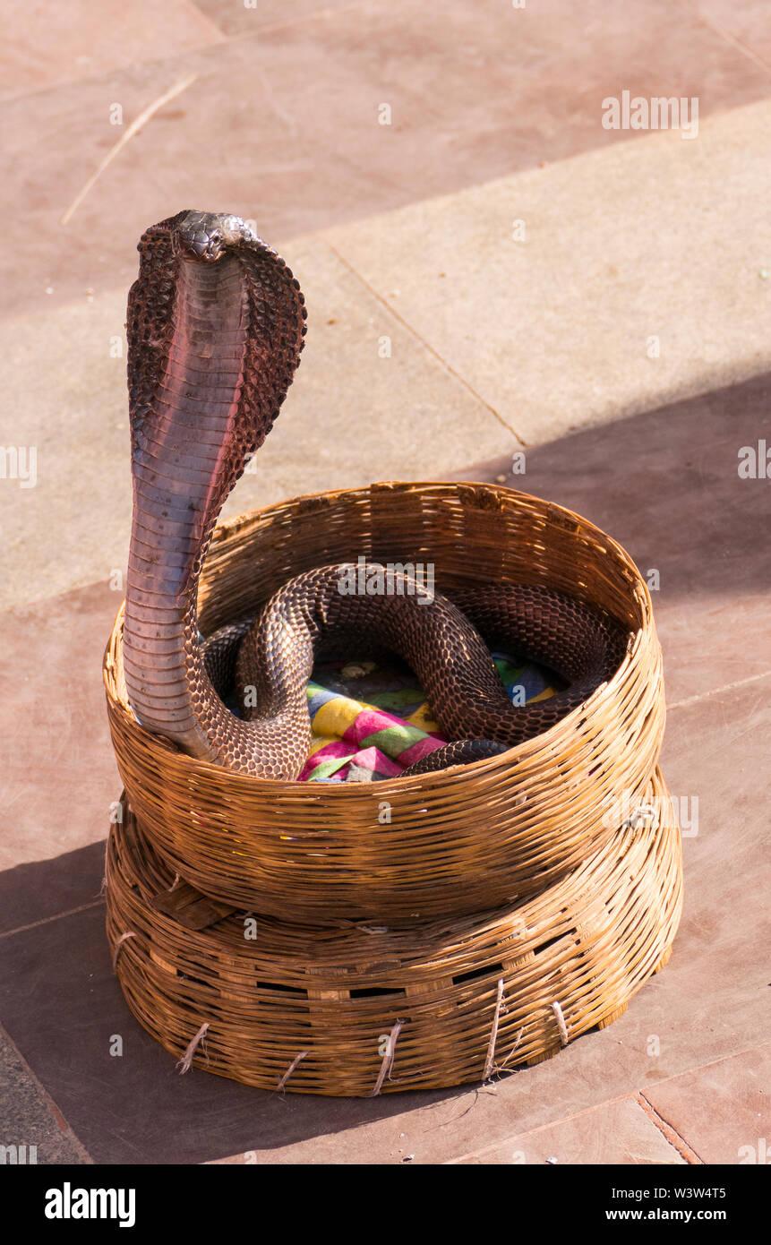 Cobra In Basket Stock Photos & Cobra In Basket Stock Images - Alamy