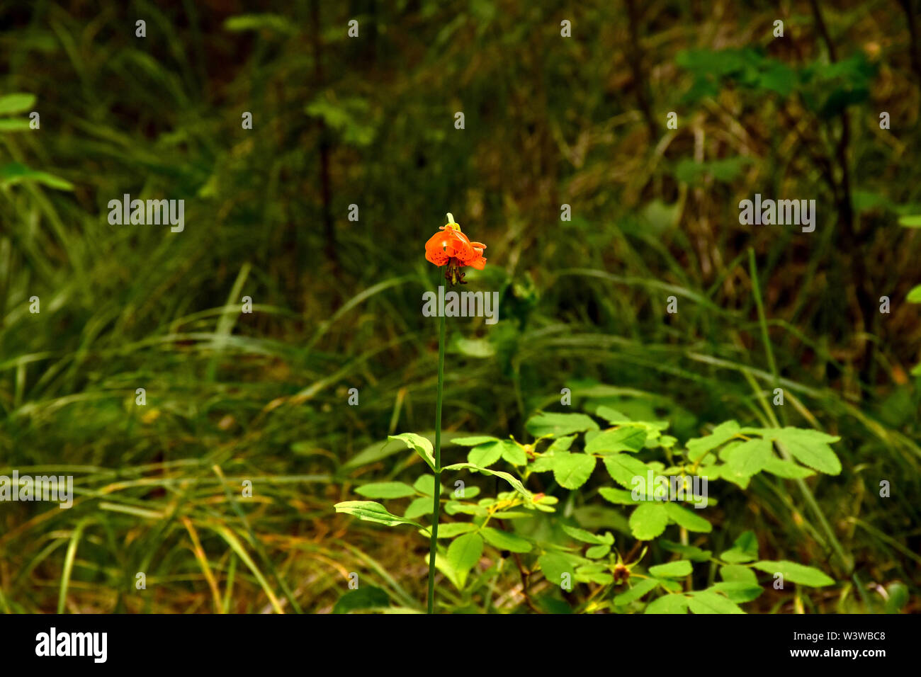 Beautiful plants and flowers of the forest. Stock Photo