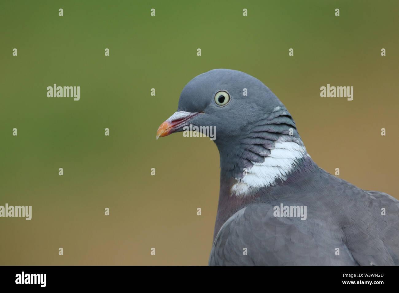 A pretty head shot of a Woodpidgeon, Columba palumbus. - Stock Image