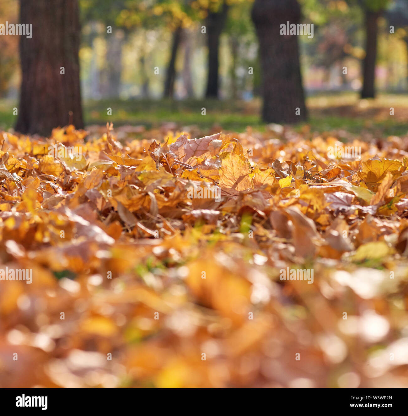 dry yellow maple leaves on the ground, selective focus, autumn day - Stock Image