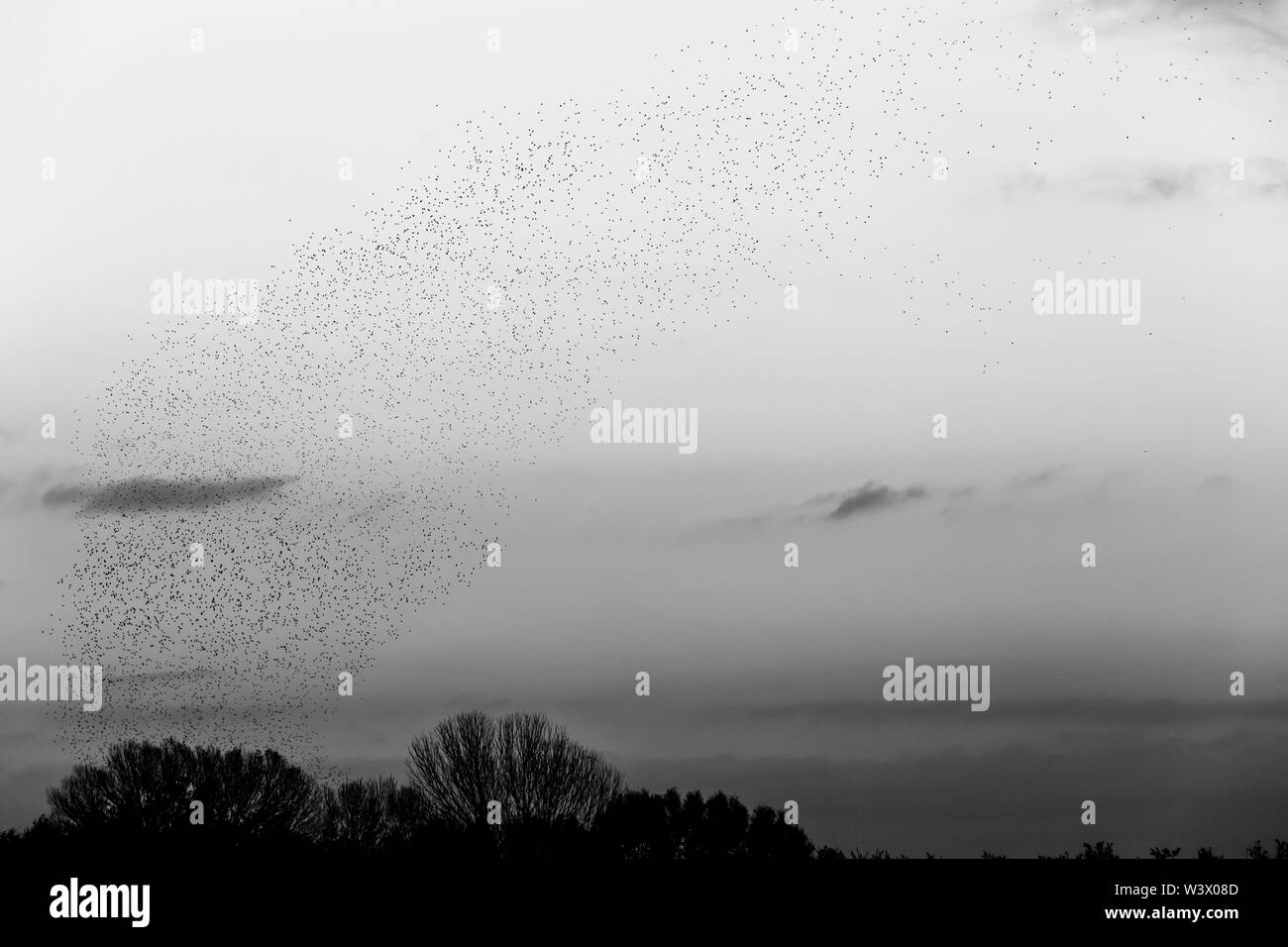 Flock of birds making a beautiful shape in the sky above some trees. - Stock Image