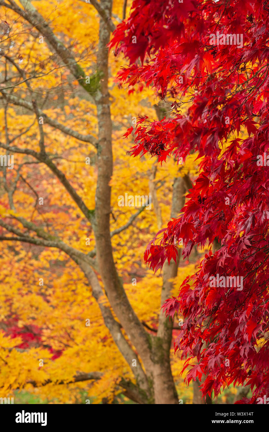 Stunning colorful vibrant red and yellow Japanese Maple trees in Autumn Fall forest woodland landscape detail in English countryside - Stock Image