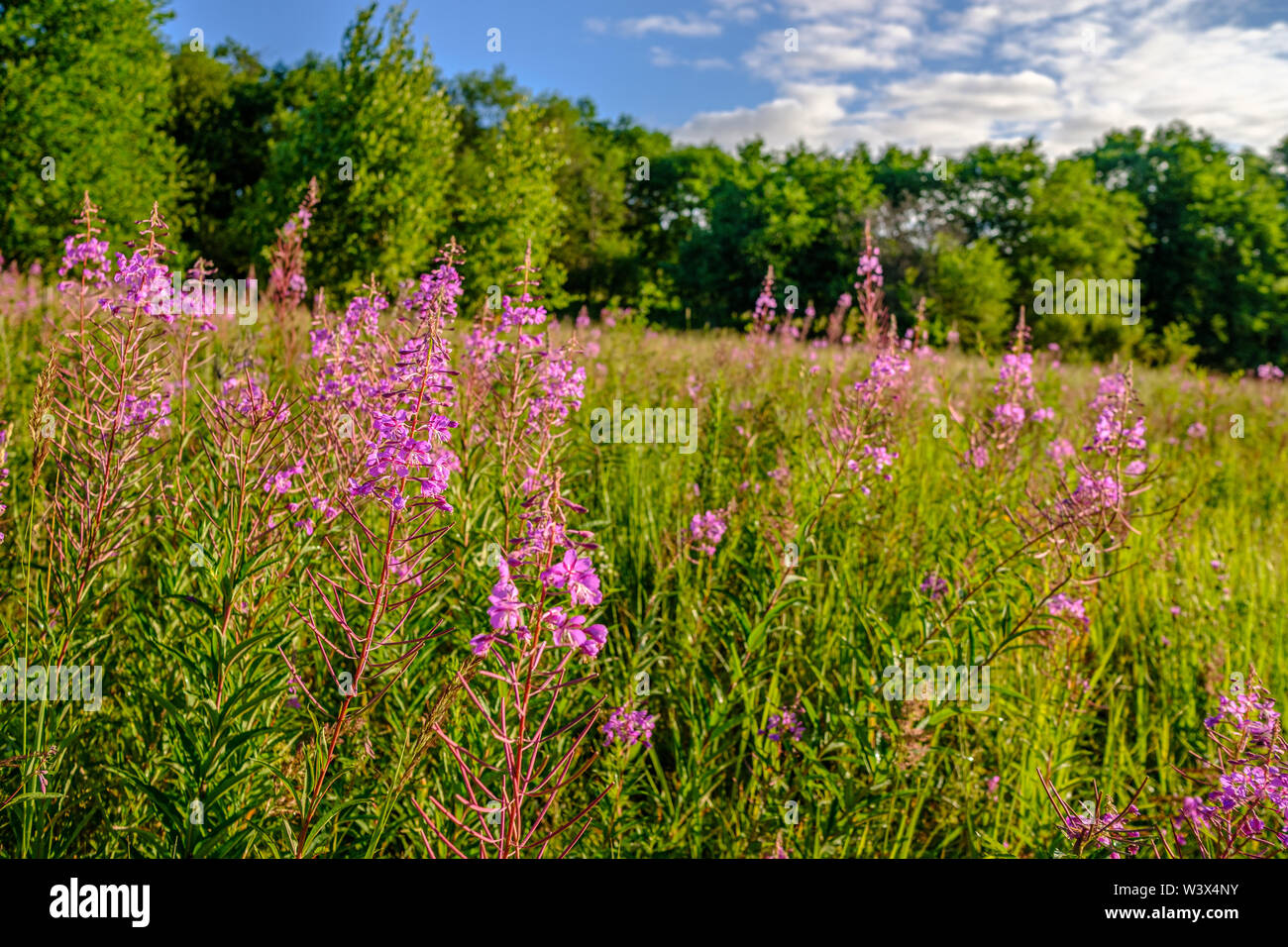 Blooming plant Ivan tea or blooming Sally in a clearing near the forest. Sunny summer morning. Stock Photo