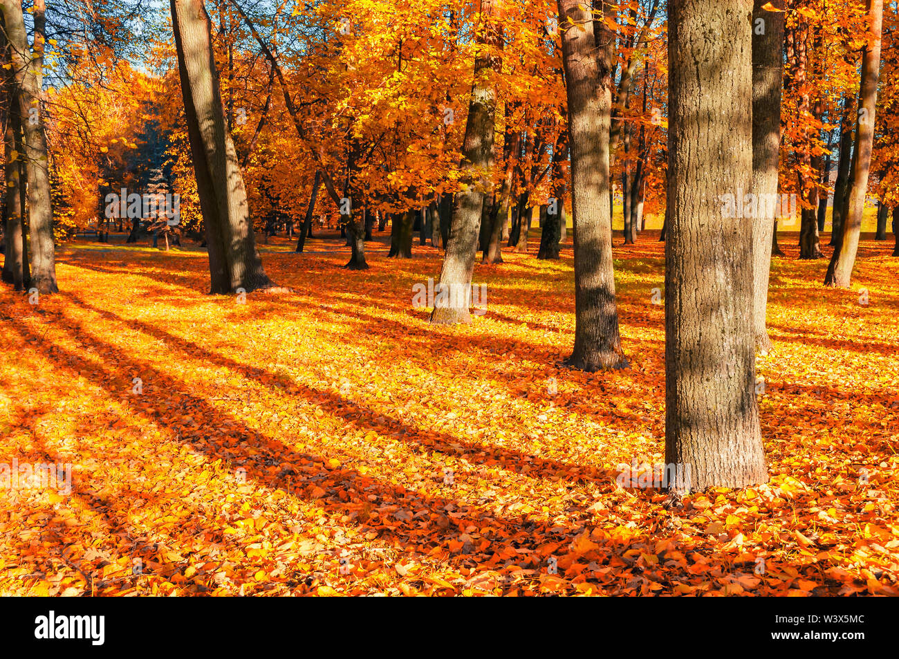 Fall landscape of sunny fall park in nice weather. Spreading fall trees with fallen fall leaves on the ground - Stock Image