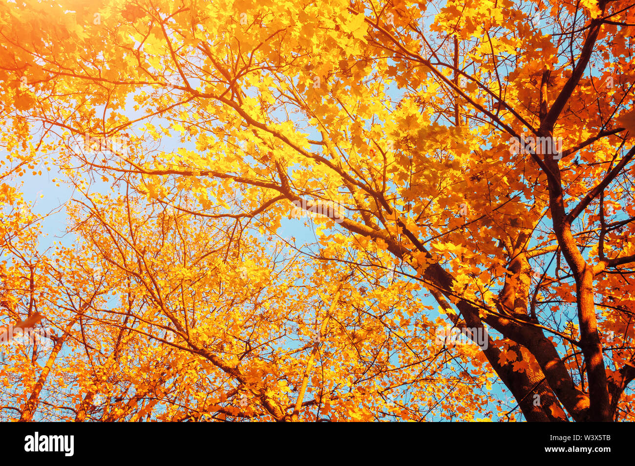 Autumn trees - orange autumn trees tops against blue sky. Autumn nature view of autumn trees in sunny day - Stock Image