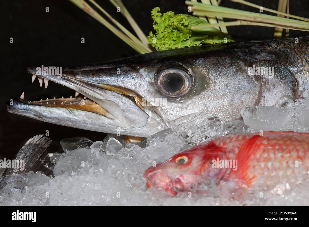 Barracuda, a large, predatory ray-finned fish - Stock Image