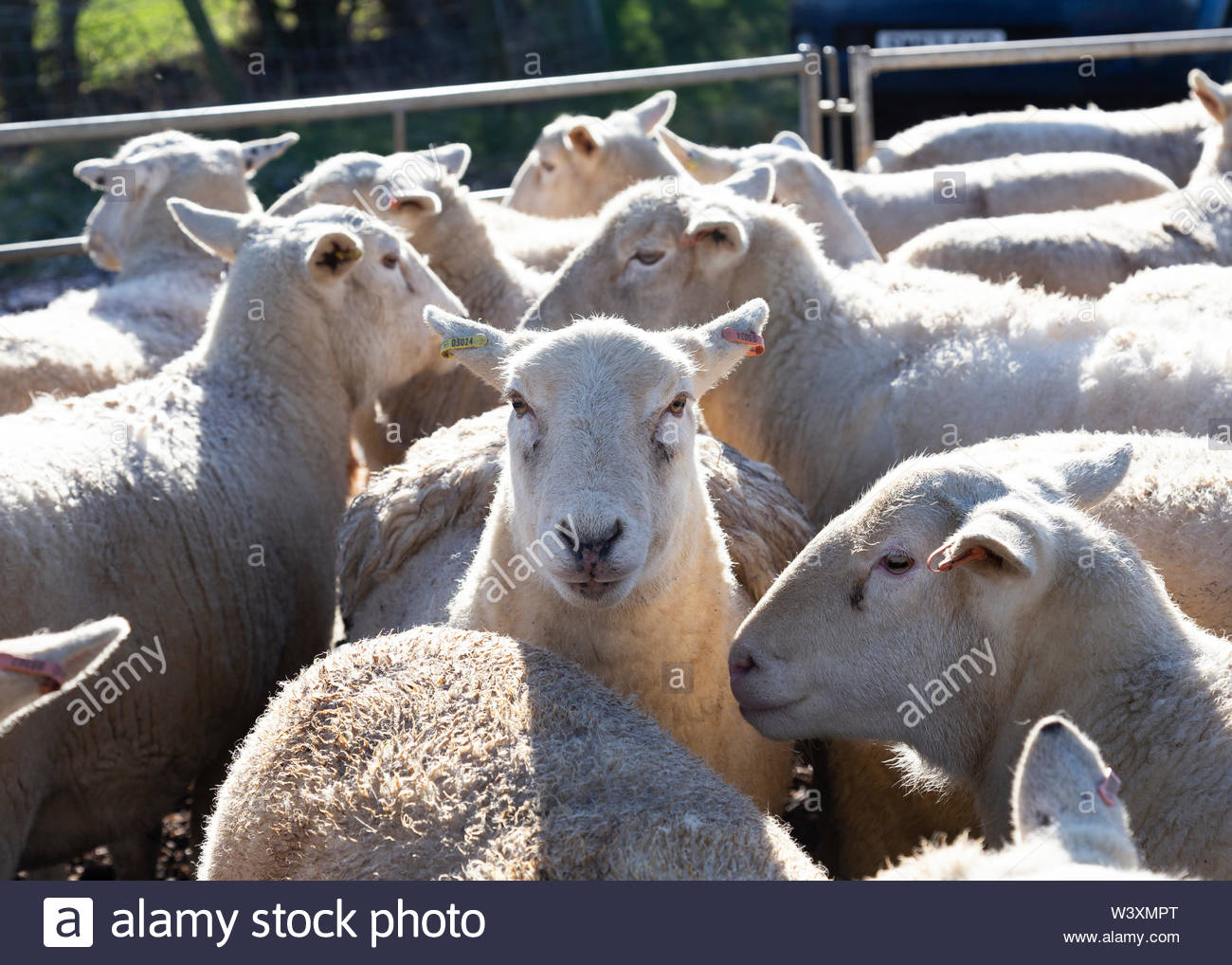 Sheep ready for market in Warwickshire UK - Stock Image